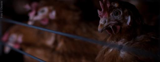 Găini ținute în baterii